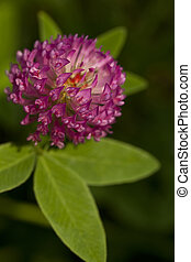 red clover - red flower clovers on green background leaf