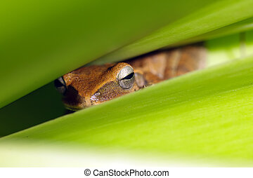 hidden frog - cute tropical frog hidden in leaves