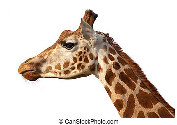 Giraffe Head Shot Profile Close Up - Giraffe Camelopardalis...