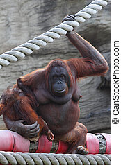 Large female animal orang-outang sits on log and hold of...