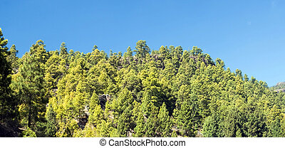 Canarian pines - View of some Canarian pines under blue sky