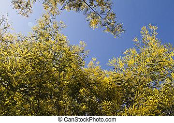 Acácia, árvores