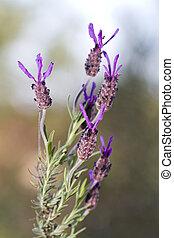 purple lavender flower - Close view of a purple lavender...