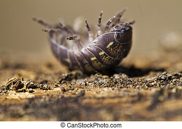 pill bug - Close view of a upside down pill bug on the...