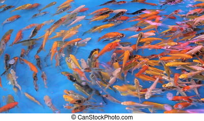 Colorful Tropical Fish Swimming - A school of tropical fish...