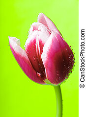 tulip head with water drops