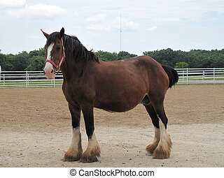 Pregnant Clydesdale in a corral