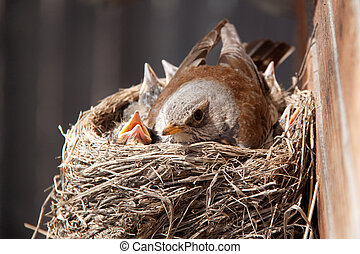 Birds in the nest - Mother-bird with cheepers in the nest on...