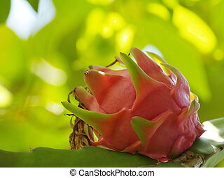 Dragon fruit Hylocercus undatus, Family Cactaceae also know...