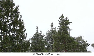 Snowfall - snowfall upper branches of pine tree