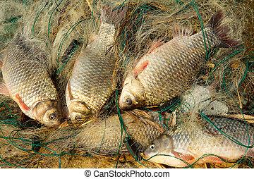 Fresh fish - carp, caught in fishing net