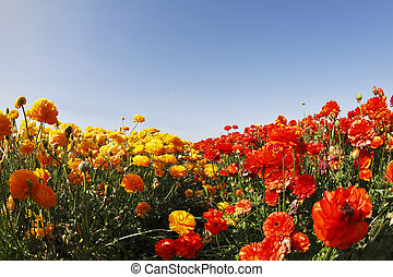 """Magnificent field of yellow and red buttercups on a sunset, photographed by an objective """" the Fish eye """""""