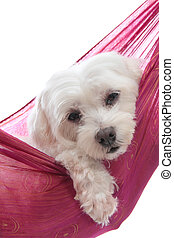 Cute maltese terrier - An adorable white maltese terrier...