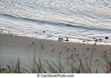 Little Blue Penguins (Eudyptula minor) coming ashore