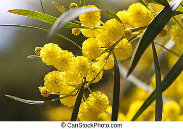 acacia trees - View of beautiful yellow acacia trees on the...