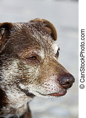 old domestic dog - Close up view of an old domestic dog.