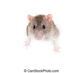 domestic grey rat in paper side torn hole isolated