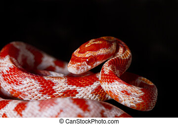 red corn snake - Close view of a beautiful red corn snake