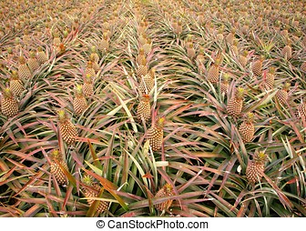 Field with Pineapples - Rows of pineapple plants with ripe...