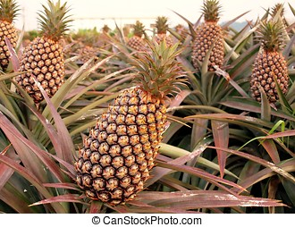 Large Pineapple Fruits - Cultivated pineapple plants (Ananas...