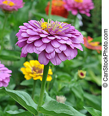 Flowers Zinnia with green leaves. Summer, Central Russia