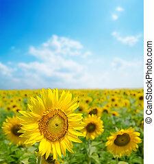 sunflower close up on field