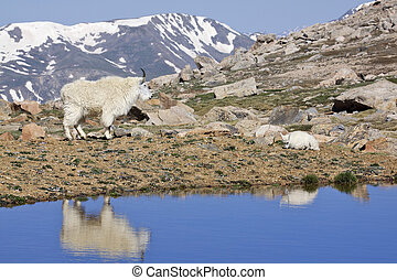 Mountain Goats and Alpine Pond - a female mountain goat and...