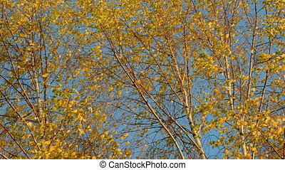 birches golden foliage and wind - autumn birches golden...
