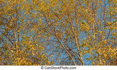 birches golden foliage and wind - autumn birches golden...