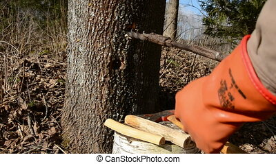 spring maple sap works - early spring maple sap works