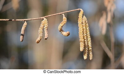 spring nutwood catkins in the wind