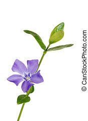 Isolated periwinkle flower