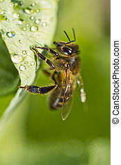 honey bee - Close up view of a honey bee on a leaf