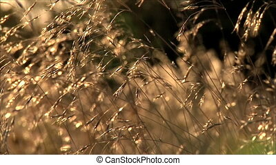 autumn grass at sunset 4