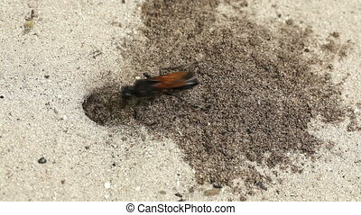 wasp digging sand - tropical wasp burrow in the sand
