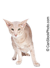 oriental cat hunting on isolated  white