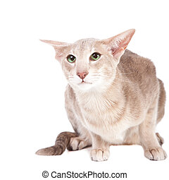 oriental cat sitting on isolated  white