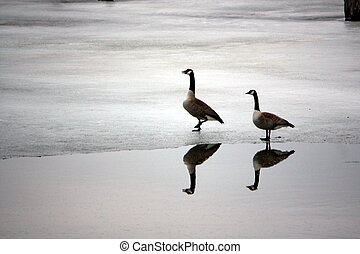 on thin ice - Canada Geese