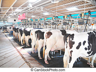 a row of cows being milked