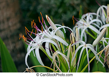 Spider Lily Flower Blooming in White Color