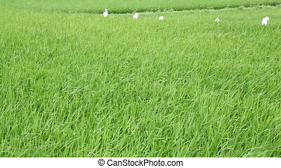 countryside field rice paddy waves