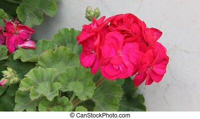 Geranium flowers - Red garden geranium flowers
