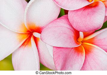 tropical flowers frangipani plumeria, macro view shallow...
