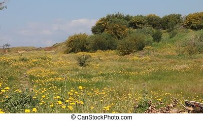 Landscape with daisies and Acacia - Yellow daisies and...