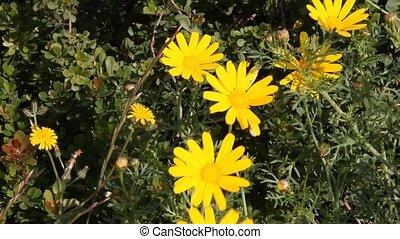 Yellow daisies close up
