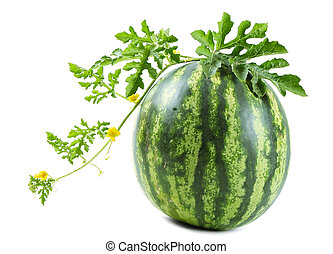 The watermelon - Watermelon on a vine on white background