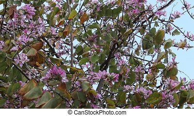 Bauhinia. Purple Orchid tree