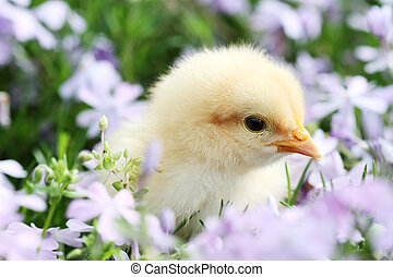 Chick in Flowers - Little Buff Orpington chick in the middle...