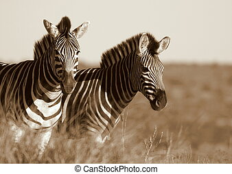 Zebra - two burchell zebra in Addo park