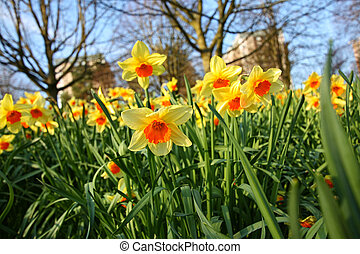 Meadow of daffodils in the park